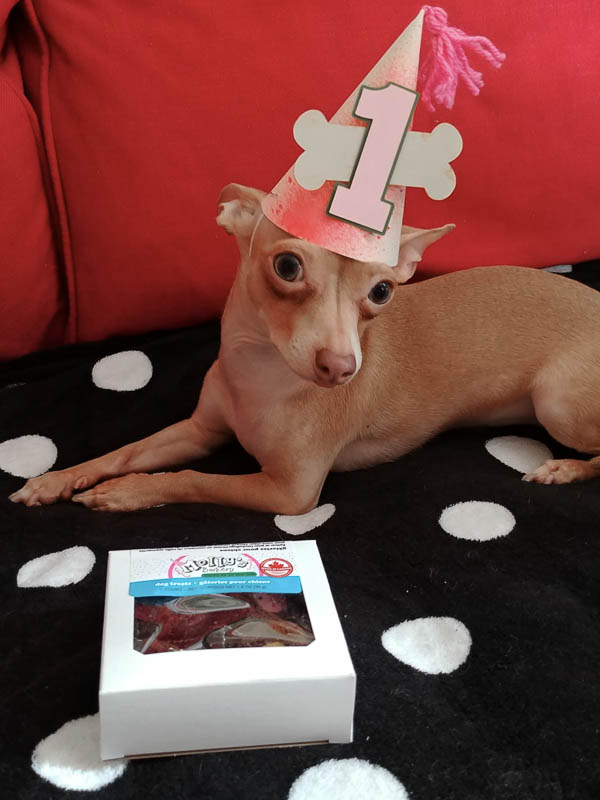 Chihuahua in a party hat