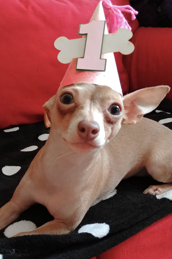Chihuahua in a party hat.